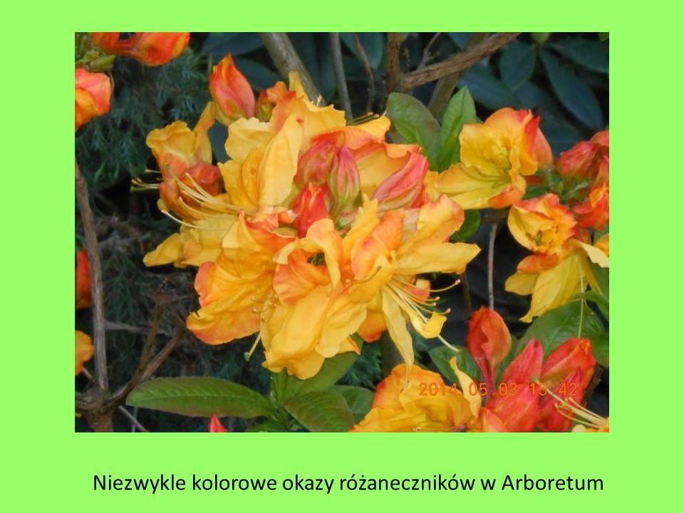 Niezwykle kolorowe okazy różaneczników w Arboretum