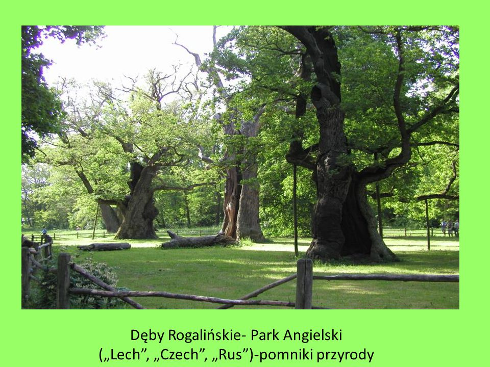 Dęby Rogalińskie- Park Angielski