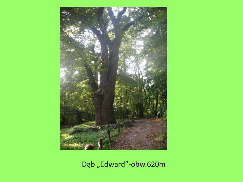 "Dąb ""Edward -obw.620m"