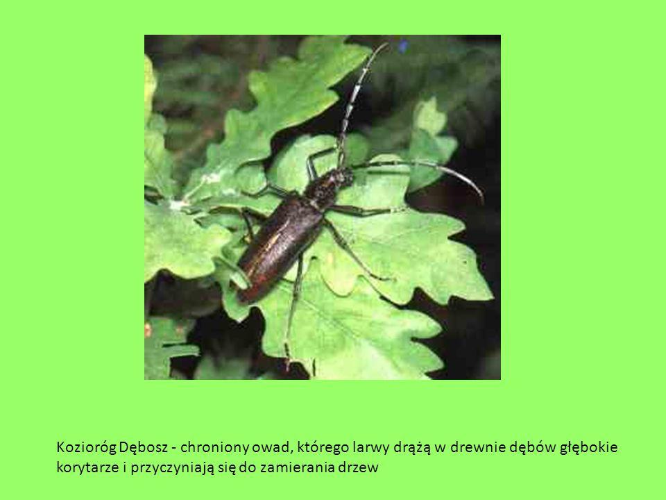 Kozioróg Dębosz - chroniony owad, którego larwy drążą w drewnie dębów głębokie korytarze i przyczyniają się do zamierania drzew