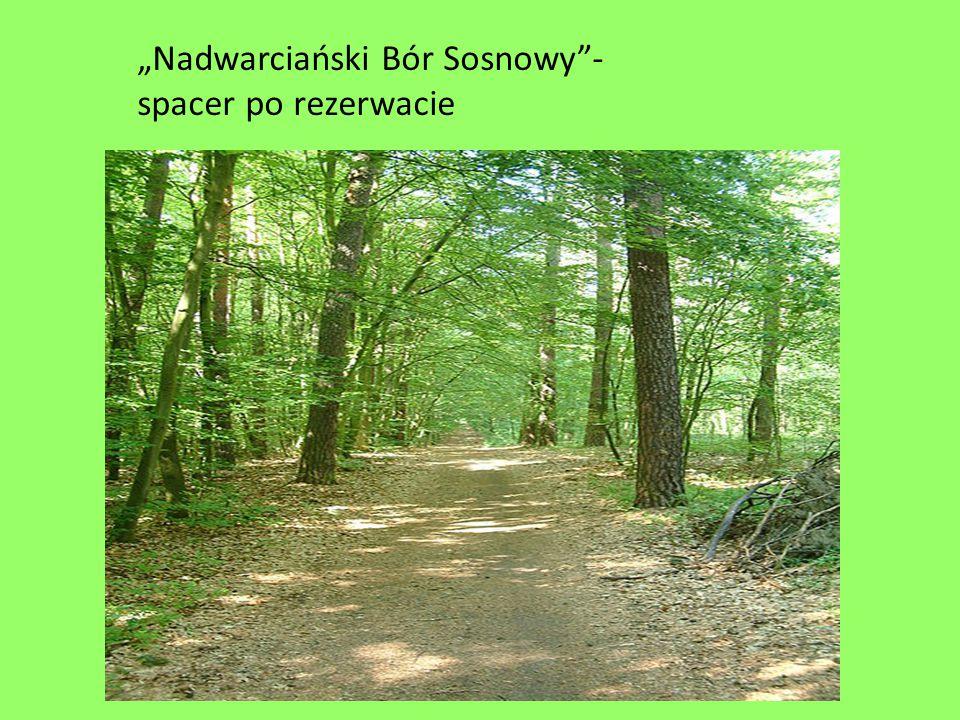 """""""Nadwarciański Bór Sosnowy -spacer po rezerwacie"""