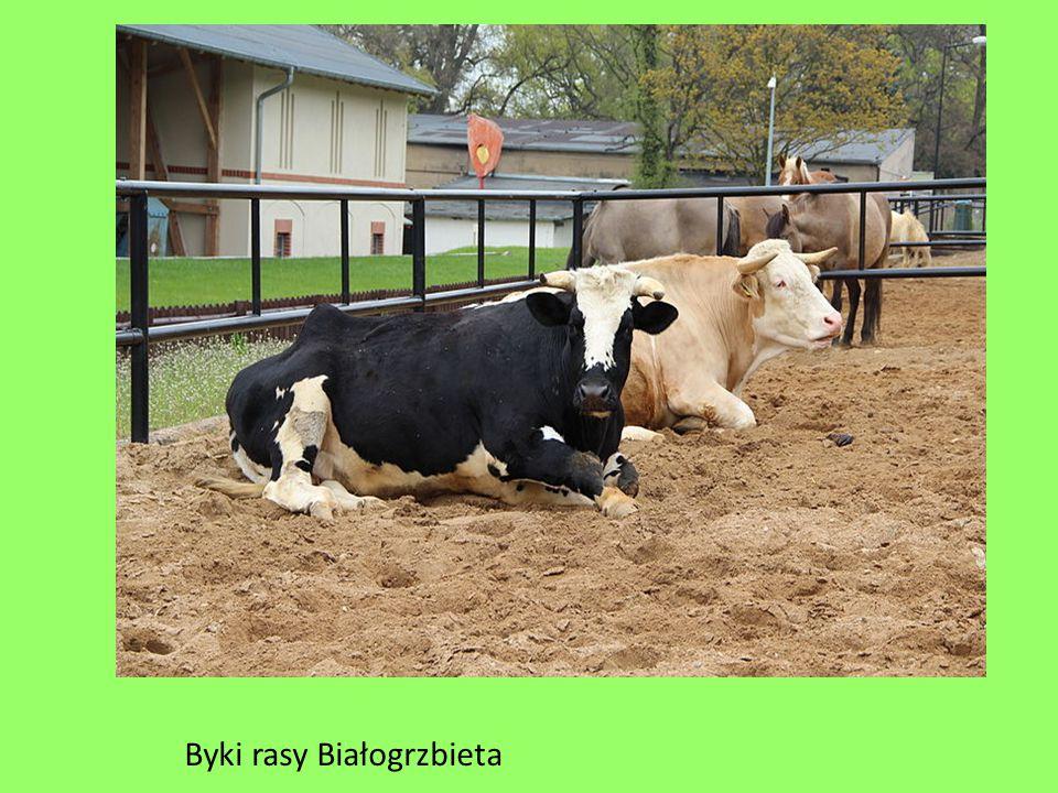 Byki rasy Białogrzbieta