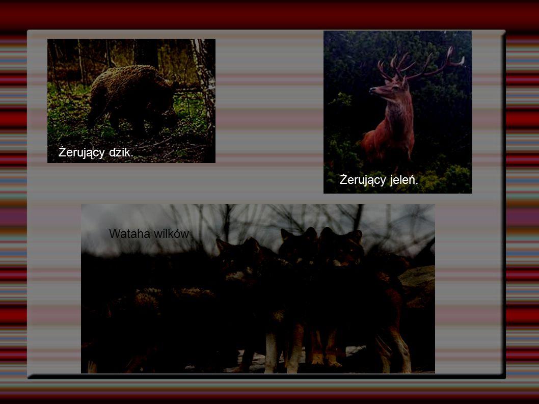 Żerujący dzik. Żerujący jeleń. Wataha wilków 7