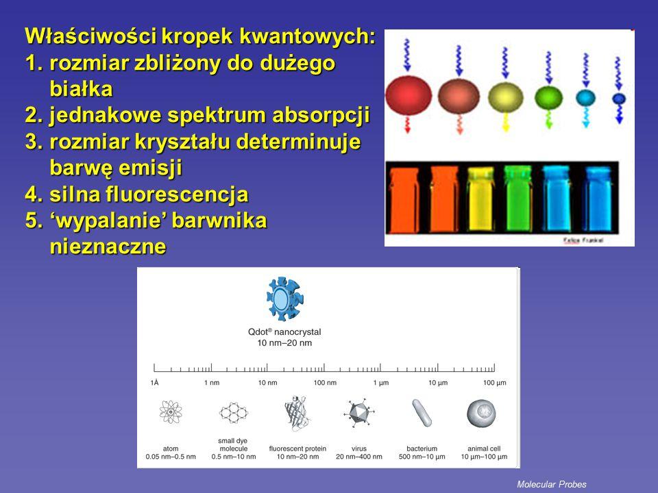 Właściwości kropek kwantowych: rozmiar zbliżony do dużego białka