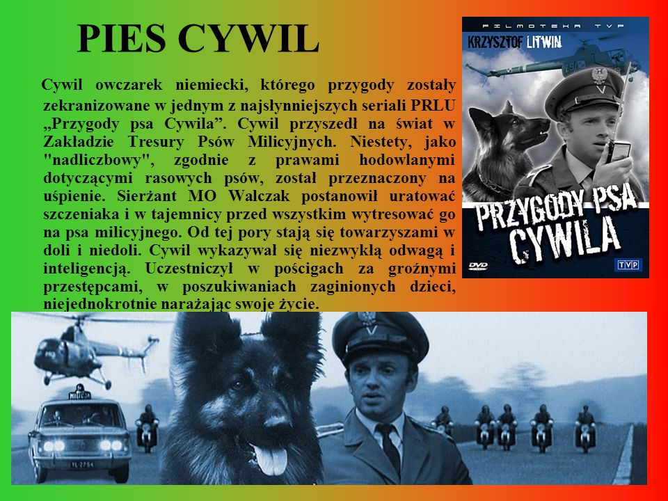 PIES CYWIL