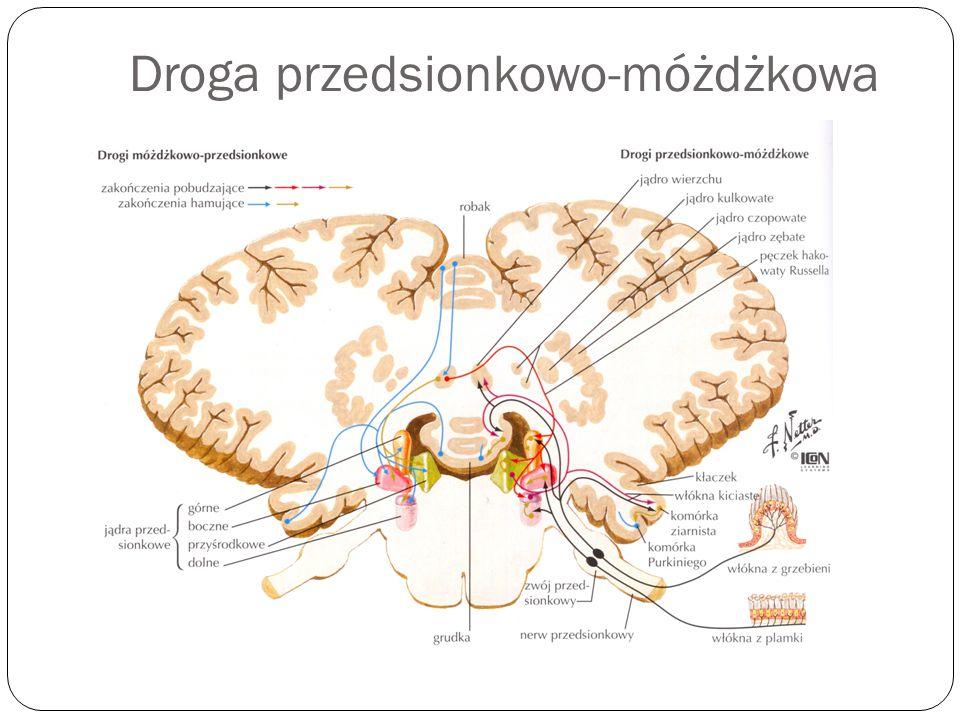 Droga przedsionkowo-móżdżkowa