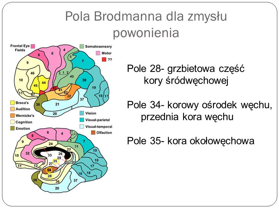 Pola Brodmanna dla zmysłu powonienia