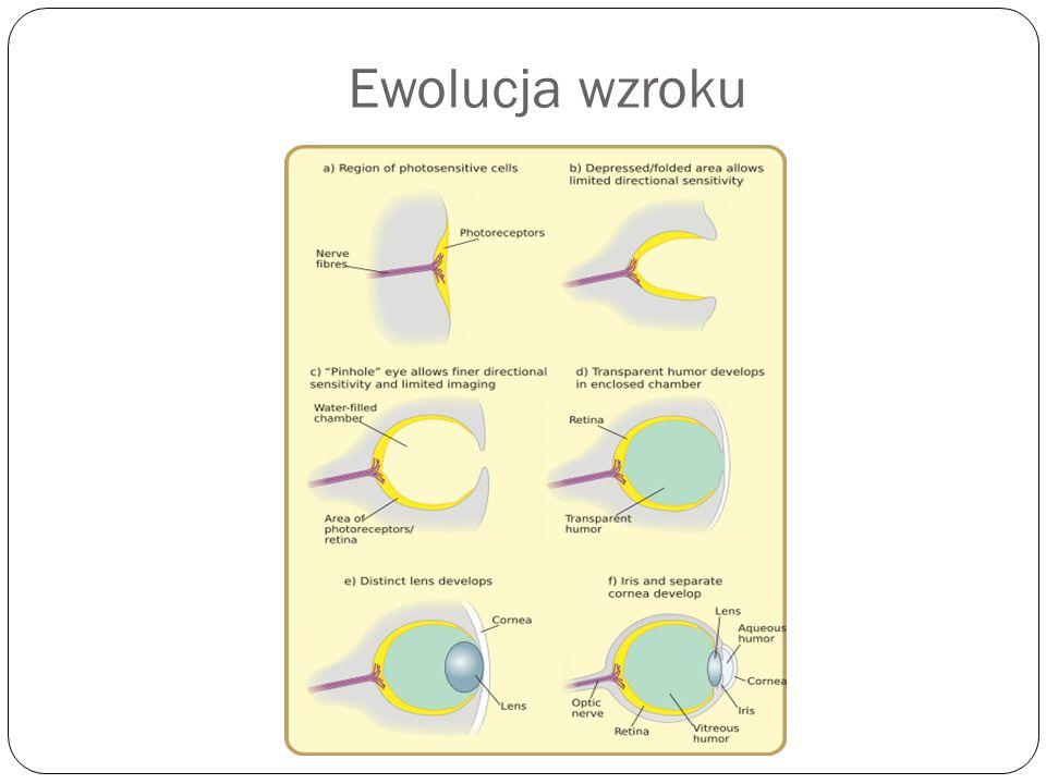 Ewolucja wzroku
