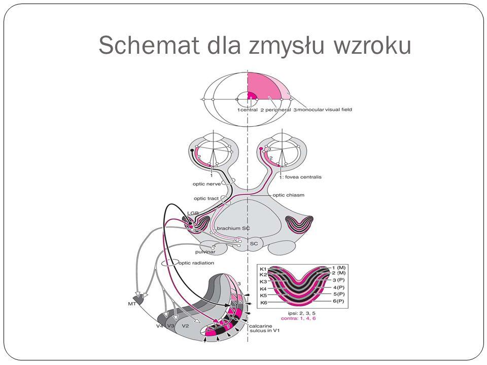 Schemat dla zmysłu wzroku