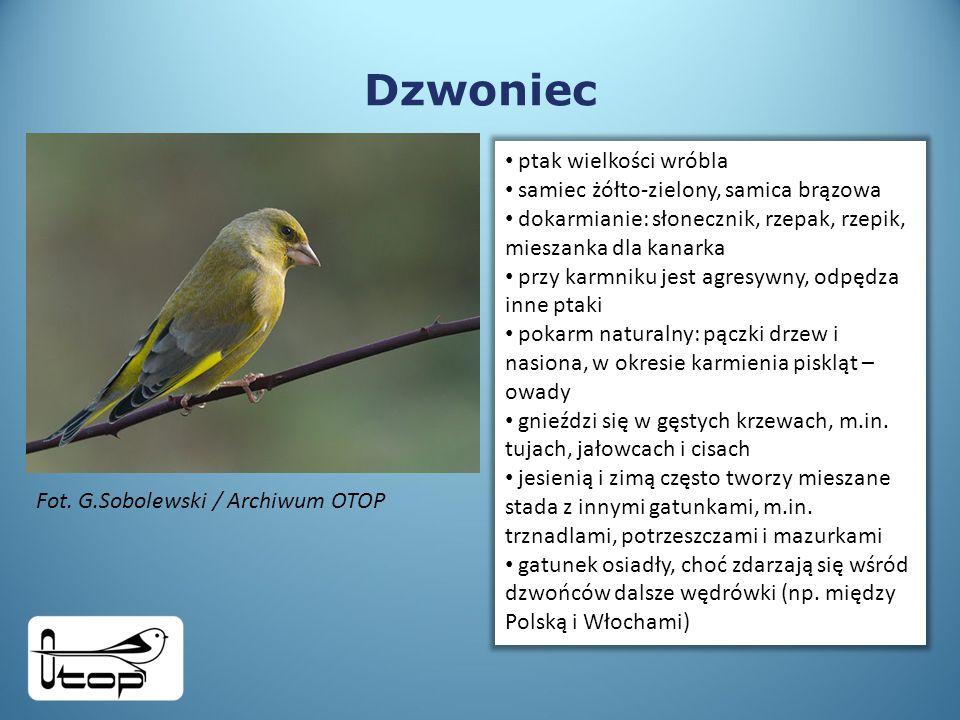 Dzwoniec ptak wielkości wróbla samiec żółto-zielony, samica brązowa