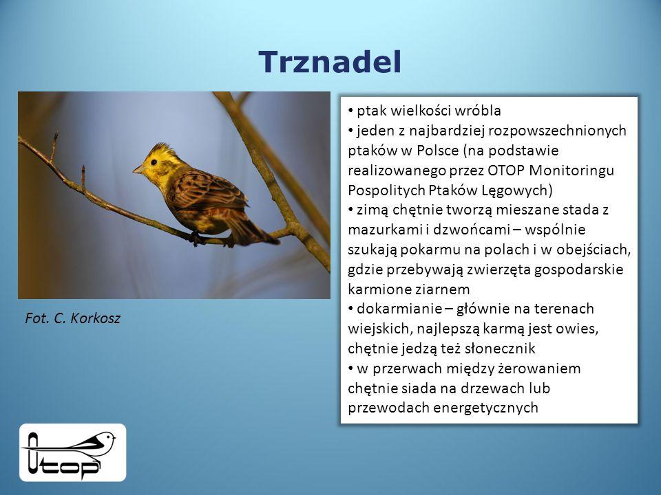 Trznadel ptak wielkości wróbla