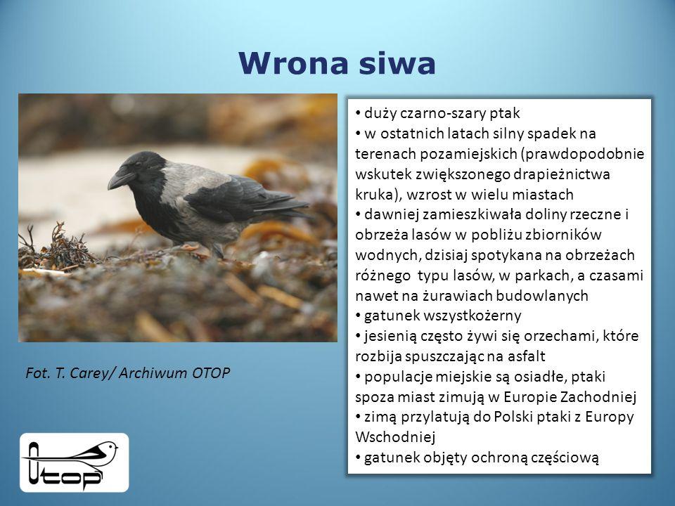 Wrona siwa duży czarno-szary ptak