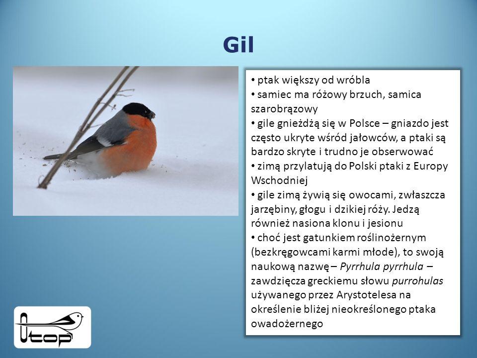 Gil ptak większy od wróbla