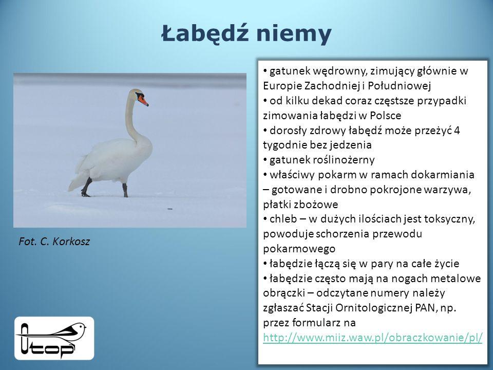 Łabędź niemy gatunek wędrowny, zimujący głównie w Europie Zachodniej i Południowej.