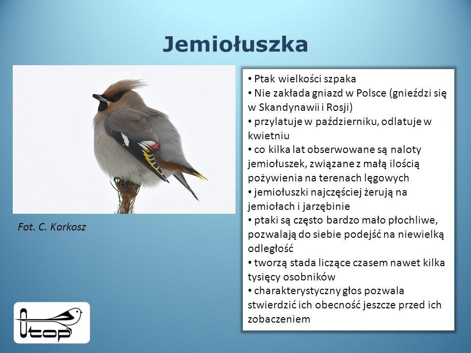 Jemiołuszka Ptak wielkości szpaka