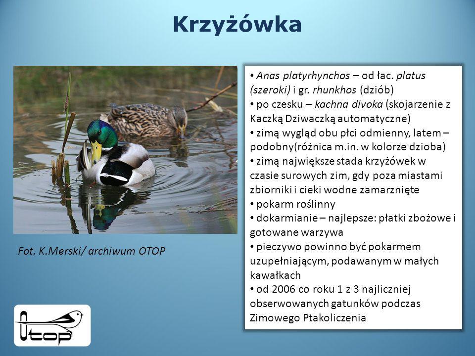 Krzyżówka Anas platyrhynchos – od łac. platus (szeroki) i gr. rhunkhos (dziób)