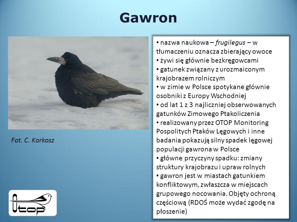 Gawron nazwa naukowa – frugilegus – w tłumaczeniu oznacza zbierający owoce. żywi się głównie bezkręgowcami.