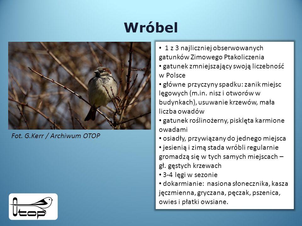 Wróbel 1 z 3 najliczniej obserwowanych gatunków Zimowego Ptakoliczenia