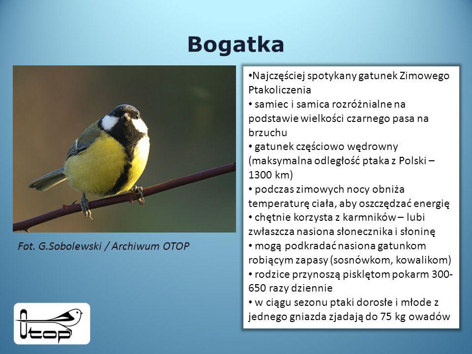 Bogatka Najczęściej spotykany gatunek Zimowego Ptakoliczenia