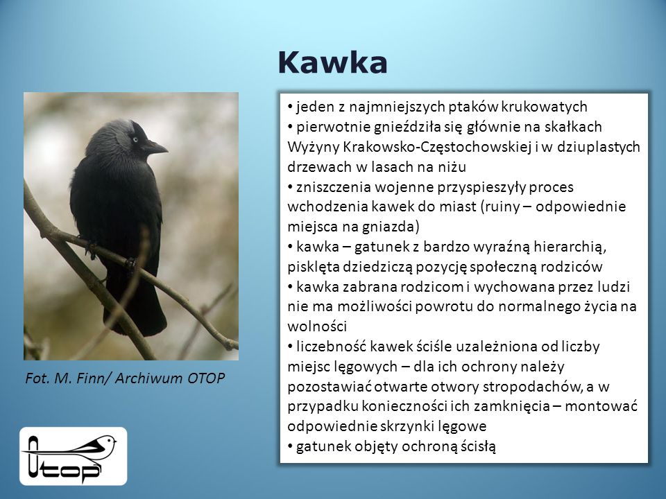 Kawka jeden z najmniejszych ptaków krukowatych