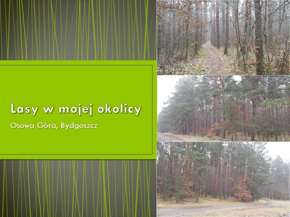 Lasy w mojej okolicy Osowa Góra, Bydgoszcz