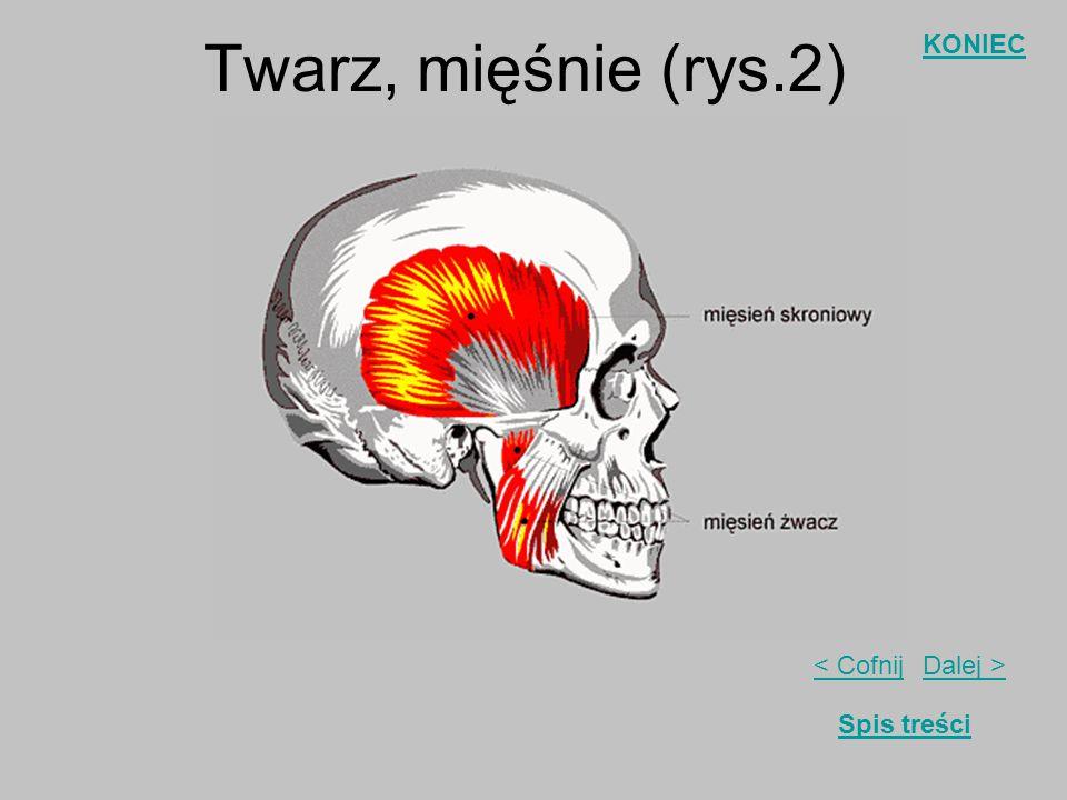 Twarz, mięśnie (rys.2)