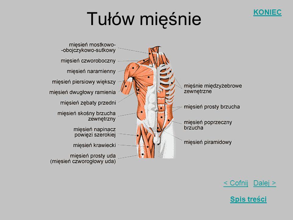 Tułów mięśnie