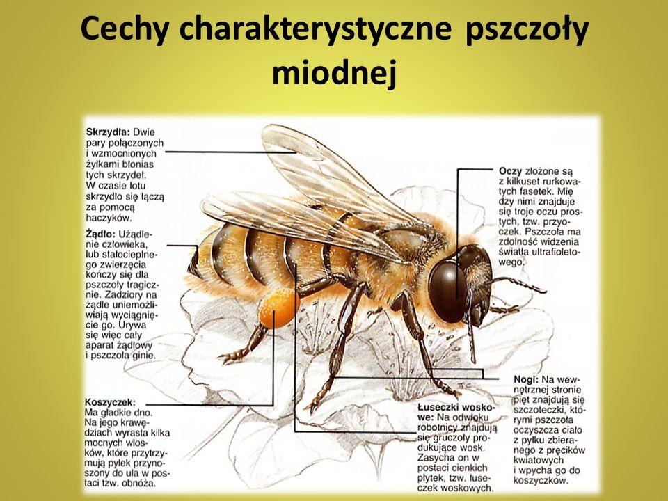 Cechy charakterystyczne pszczoły miodnej
