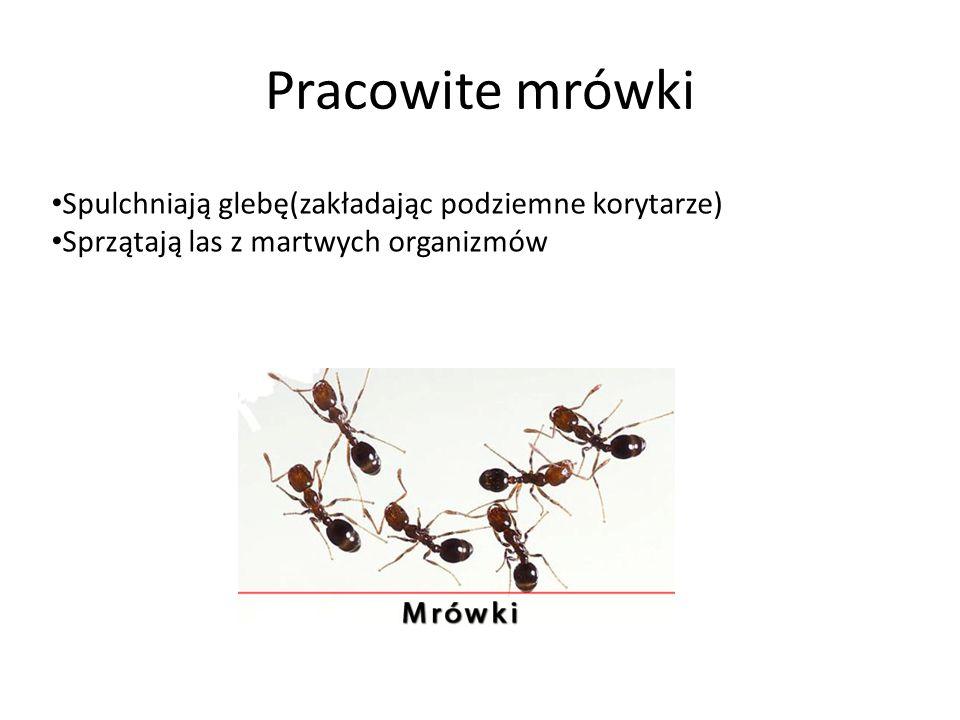 Pracowite mrówki Spulchniają glebę(zakładając podziemne korytarze)