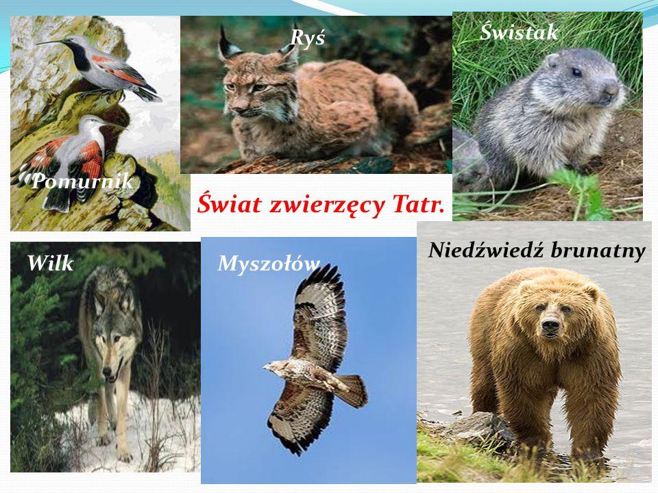 Świat zwierzęcy Tatr. Świstak Ryś Niedźwiedź brunatny Myszołów