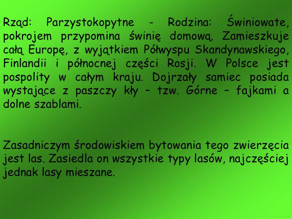 Rząd: Parzystokopytne - Rodzina: Świniowate, pokrojem przypomina świnię domową. Zamieszkuje całą Europę, z wyjątkiem Półwyspu Skandynawskiego, Finlandii i północnej części Rosji. W Polsce jest pospolity w całym kraju. Dojrzały samiec posiada wystające z paszczy kły – tzw. Górne – fajkami a dolne szablami.