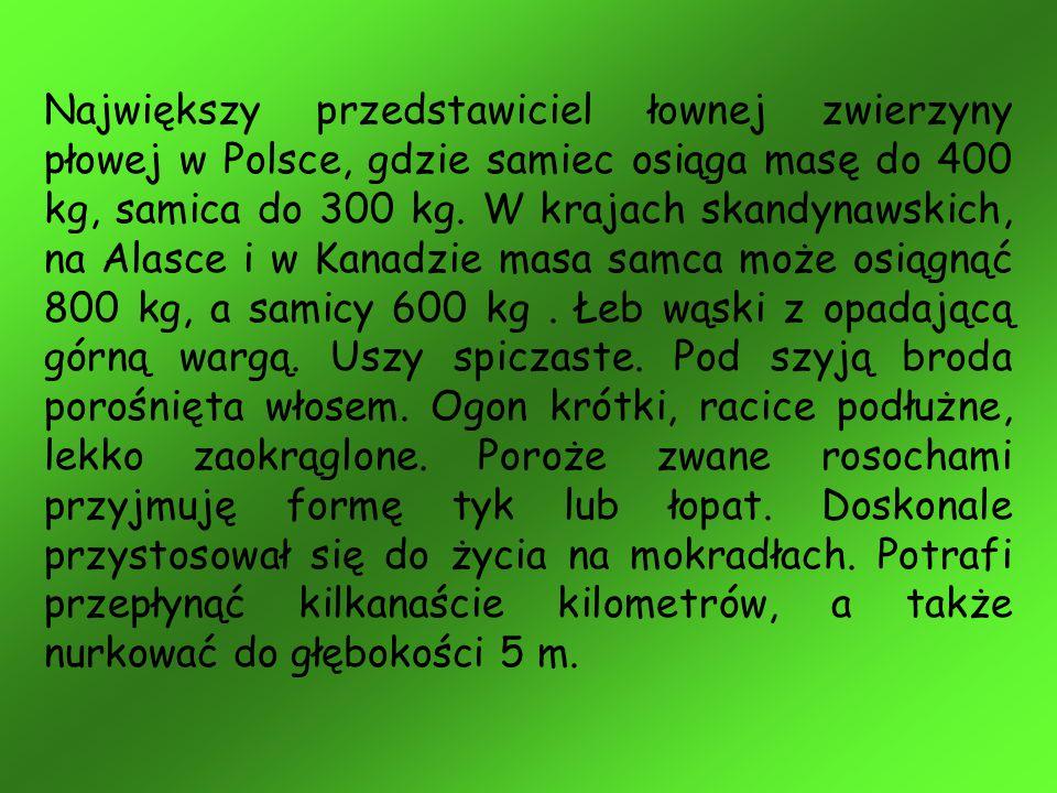Największy przedstawiciel łownej zwierzyny płowej w Polsce, gdzie samiec osiąga masę do 400 kg, samica do 300 kg.