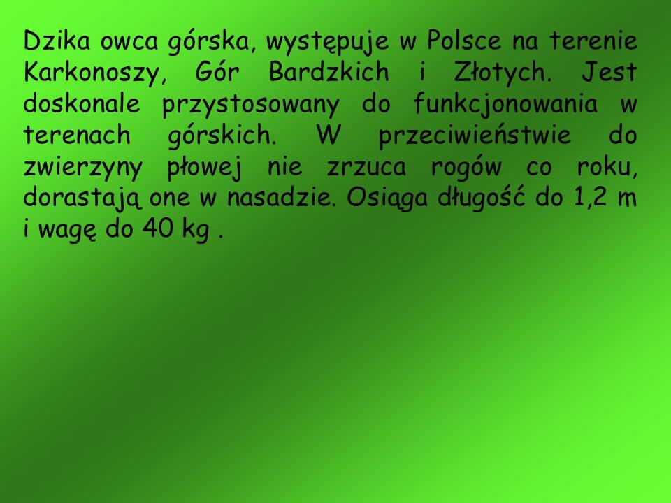 Dzika owca górska, występuje w Polsce na terenie Karkonoszy, Gór Bardzkich i Złotych.