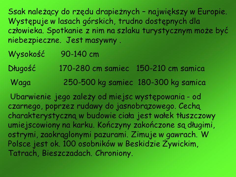 Ssak należący do rzędu drapieżnych – największy w Europie