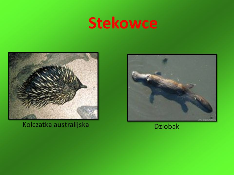 Stekowce Kolczatka australijska Dziobak