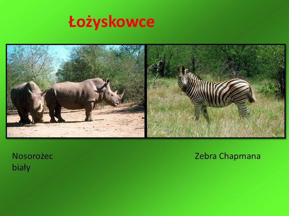 Łożyskowce Nosorożec biały Zebra Chapmana