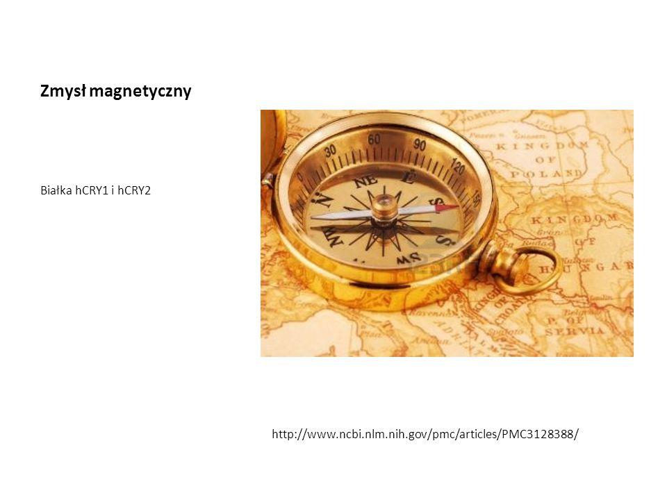 Zmysł magnetyczny Białka hCRY1 i hCRY2