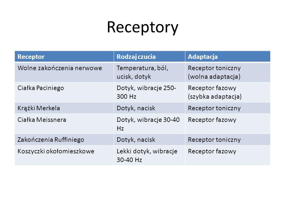 Receptory Receptor Rodzaj czucia Adaptacja Wolne zakończenia nerwowe
