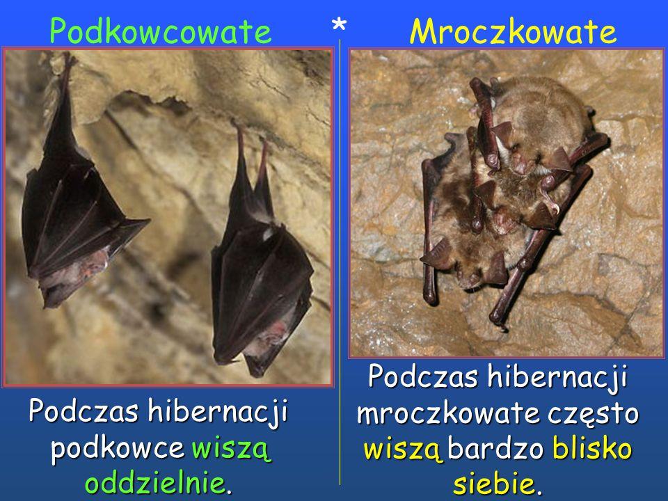 Podkowcowate * Mroczkowate