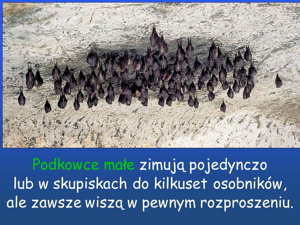 Podkowce małe zimują pojedynczo lub w skupiskach do kilkuset osobników, ale zawsze wiszą w pewnym rozproszeniu.