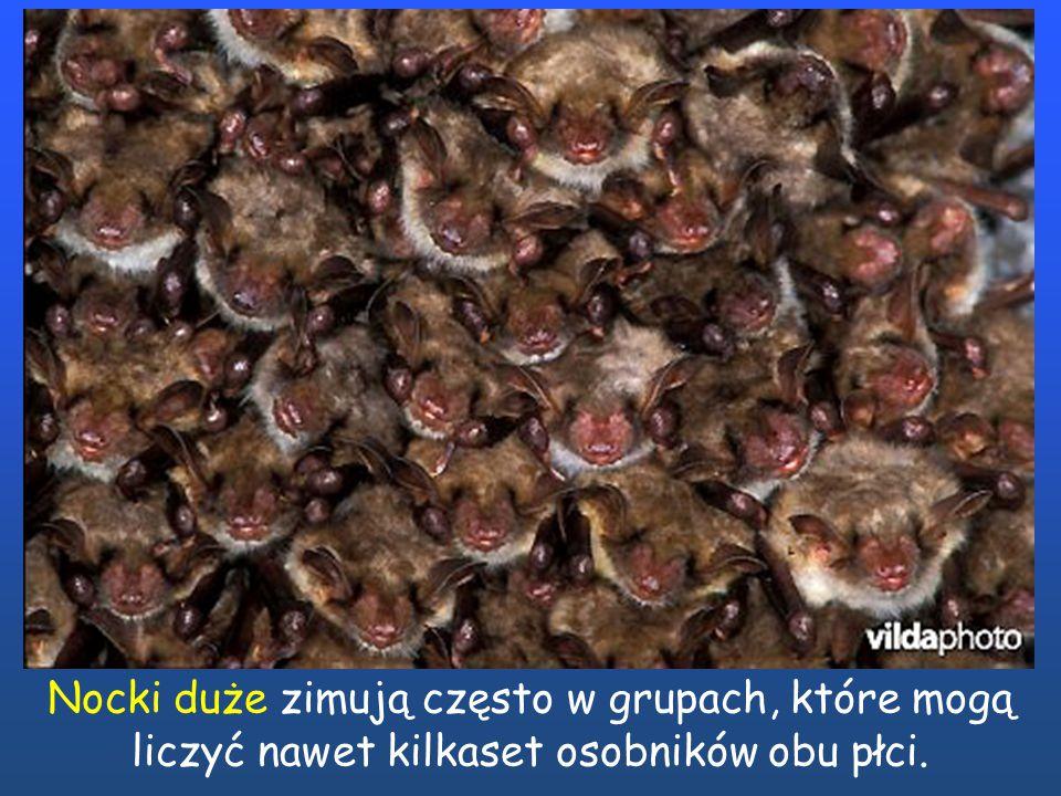 Nocki duże zimują często w grupach, które mogą liczyć nawet kilkaset osobników obu płci.