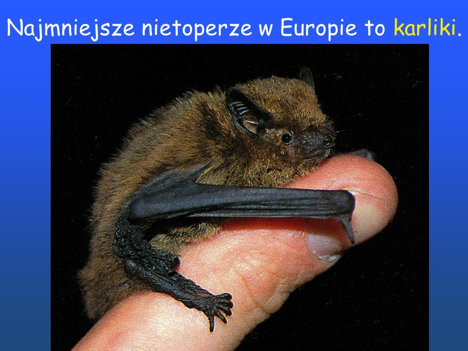 Najmniejsze nietoperze w Europie to karliki.