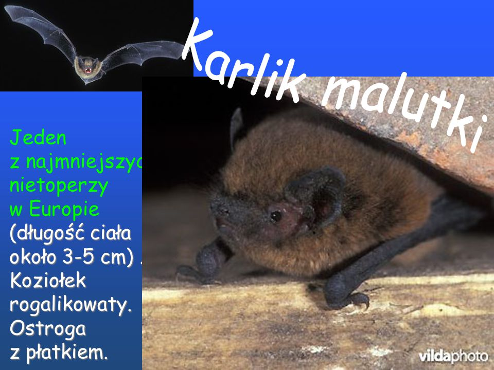 Jeden z najmniejszych nietoperzy