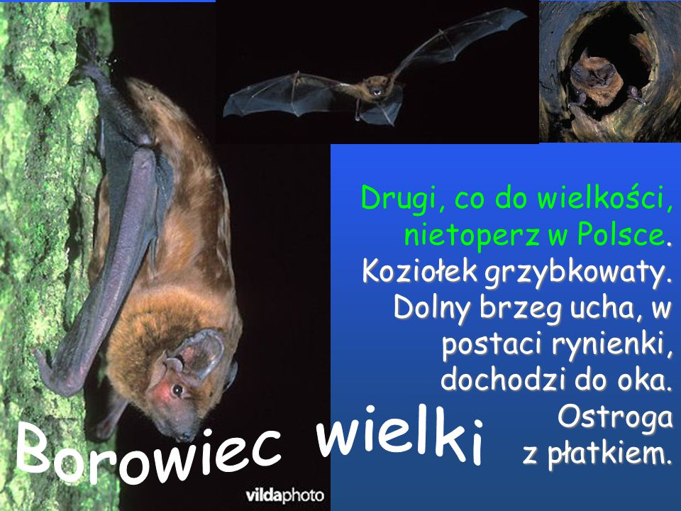 Drugi, co do wielkości, nietoperz w Polsce. Koziołek grzybkowaty