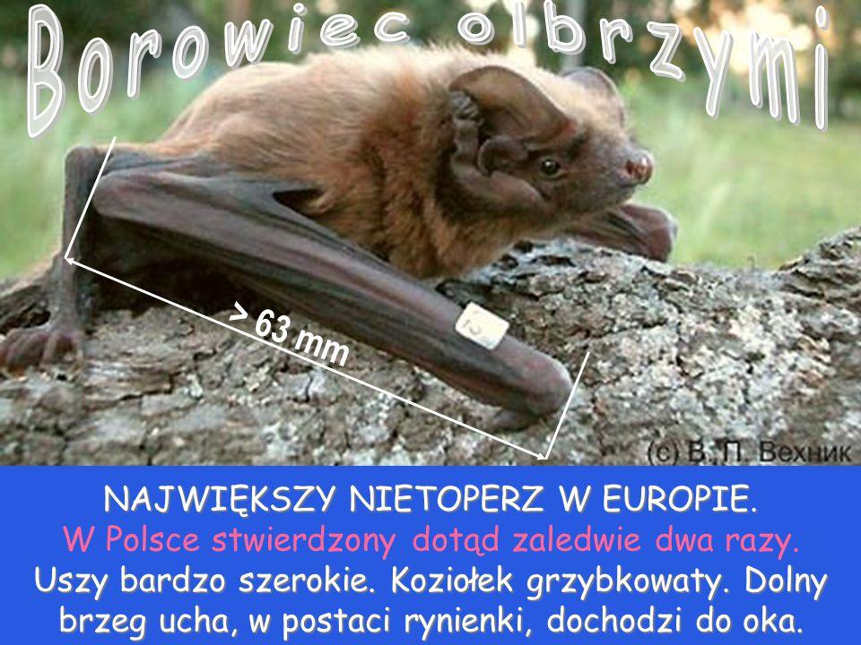Borowiec olbrzymi > 63 mm NAJWIĘKSZY NIETOPERZ W EUROPIE.