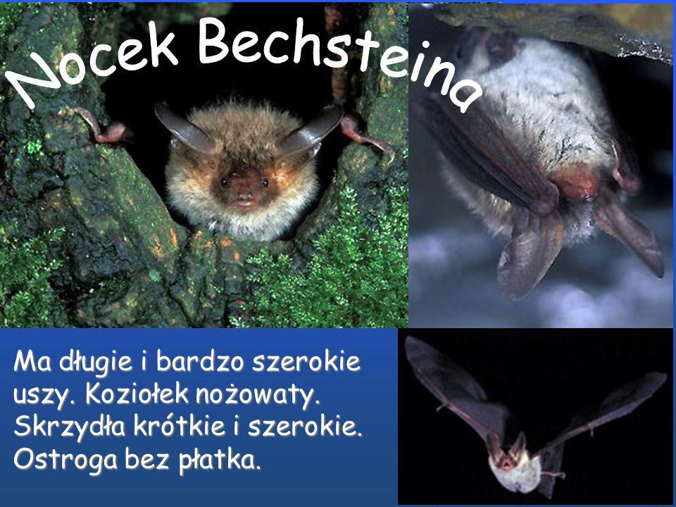 Nocek Bechsteina Ma długie i bardzo szerokie uszy.