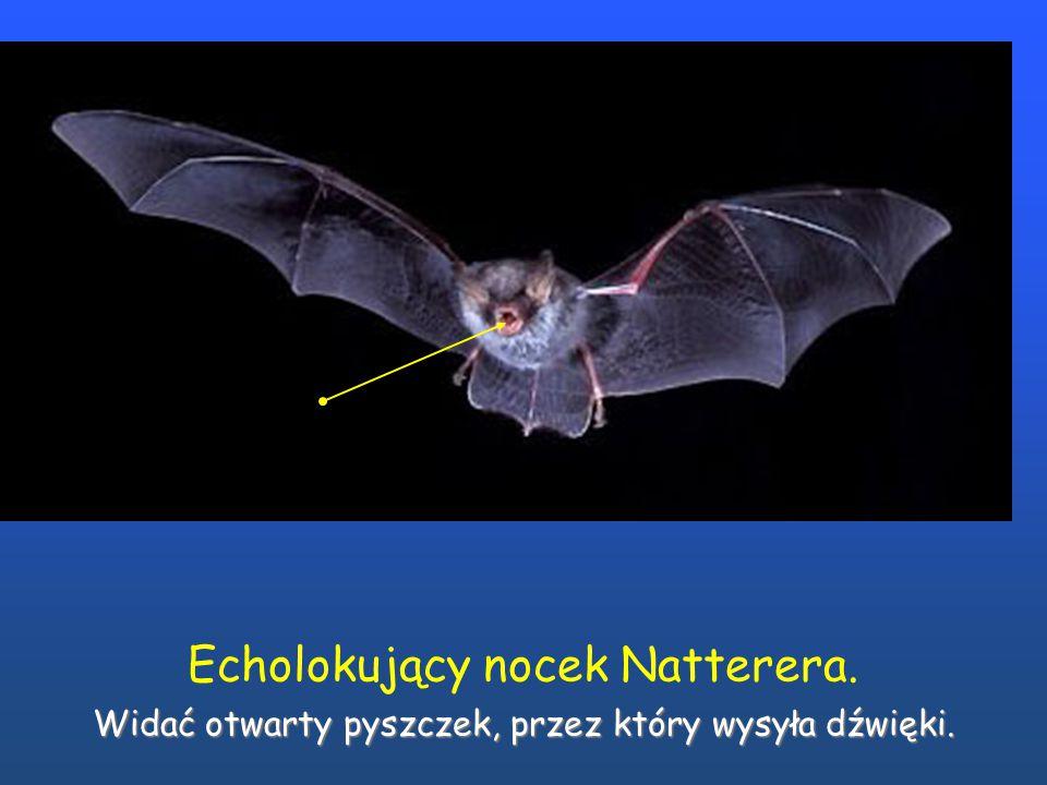 Echolokujący nocek Natterera