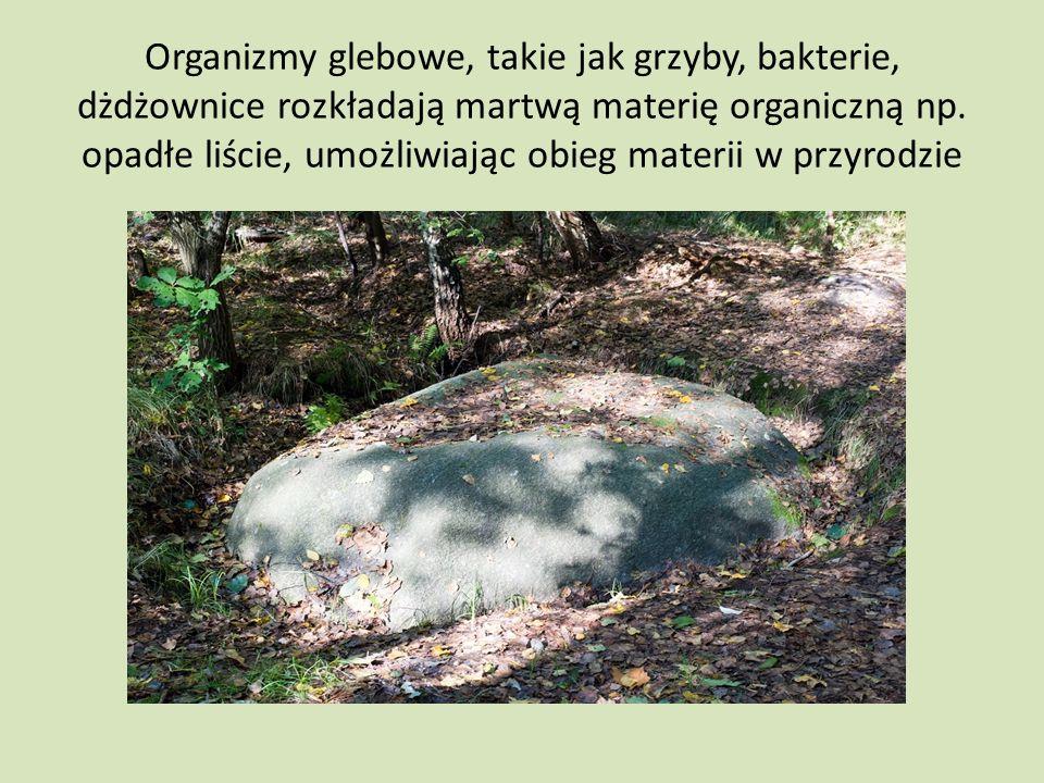 Organizmy glebowe, takie jak grzyby, bakterie, dżdżownice rozkładają martwą materię organiczną np.