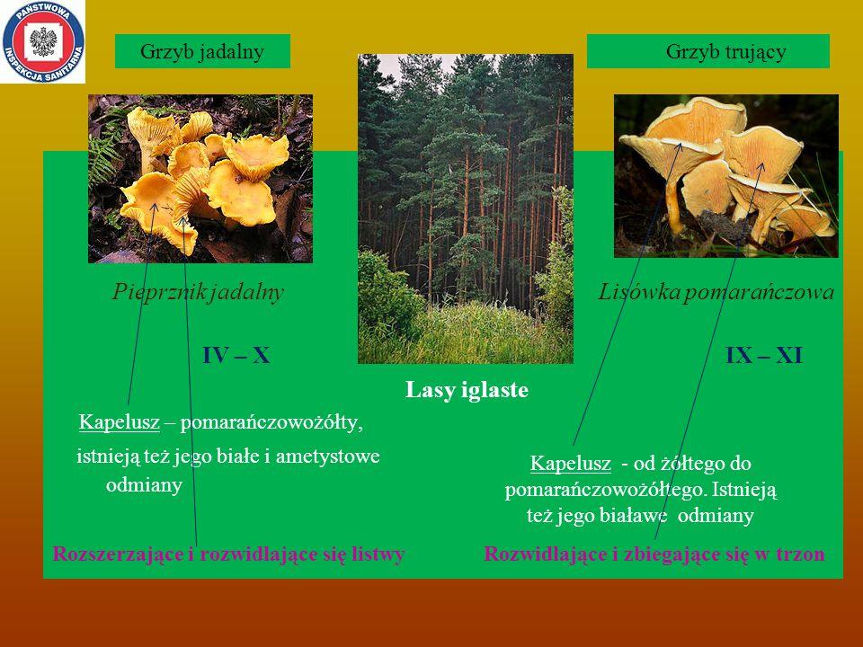 Pieprznik jadalny Lisówka pomarańczowa IV – X IX – XI Lasy iglaste