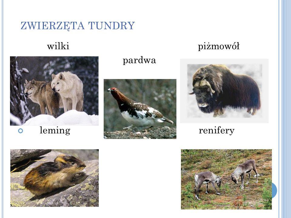 zwierzęta tundry wilki piżmowół. pardwa.